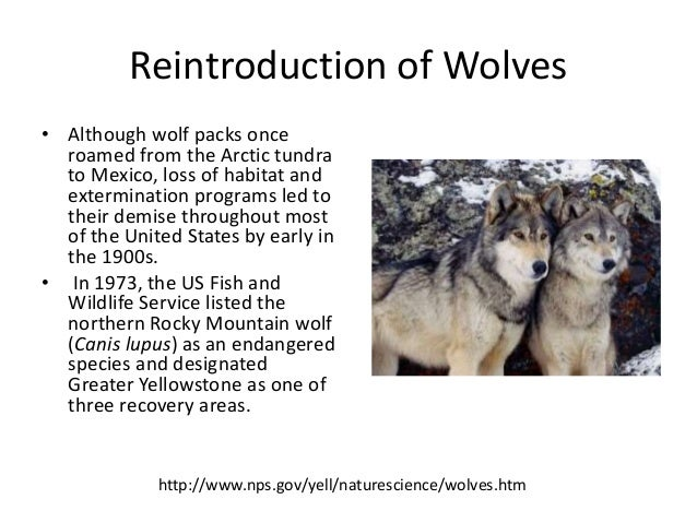 reintroduction of wolves This informational text resource is intended to support reading in the content area  the reintroduction of wolves into yellowstone has resulted in many changes.