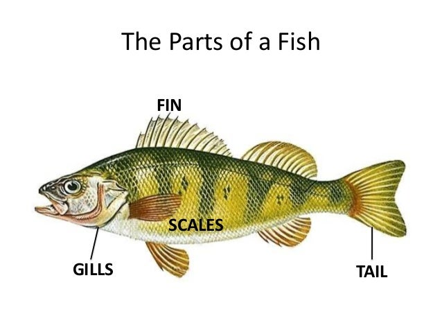 Fish for List of fish with fins and scales