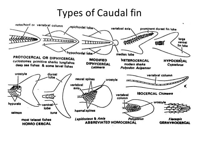 types of caudal fin