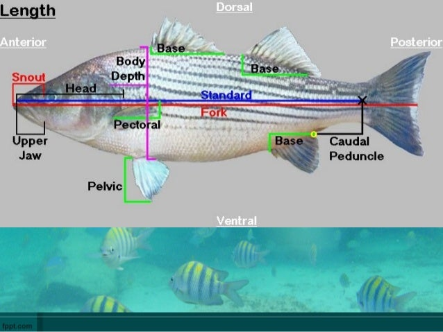 Fish anatomy and physilogy