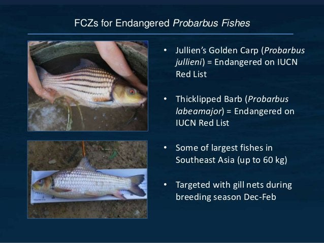 FCZs for Endangered Probarbus Fishes • Jullien's Golden Carp (Probarbus jullieni) = Endangered on IUCN Red List • Thicklip...