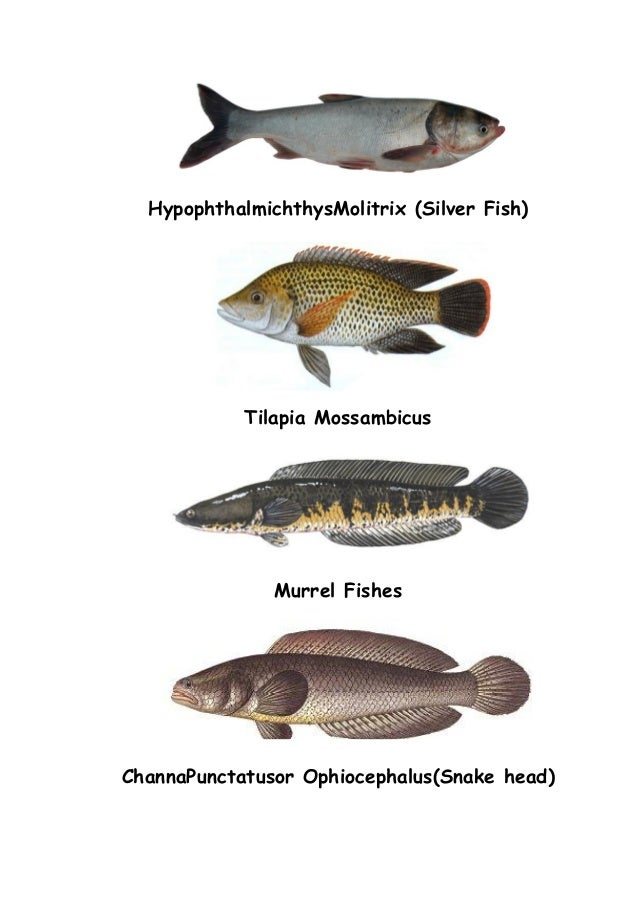 Tilapia Fish Cold Water Diagram - Auto Electrical Wiring Diagram •