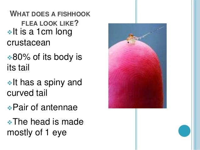 Fishhook Water Flea Pptx Leah