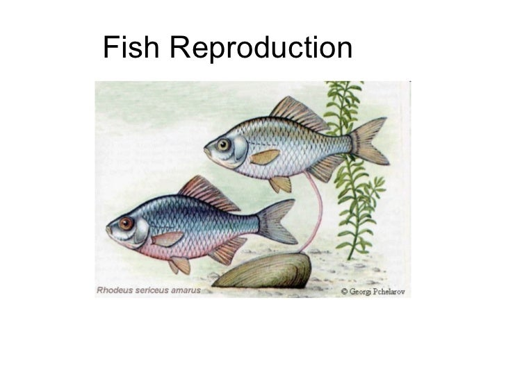 Fish and sexual performance