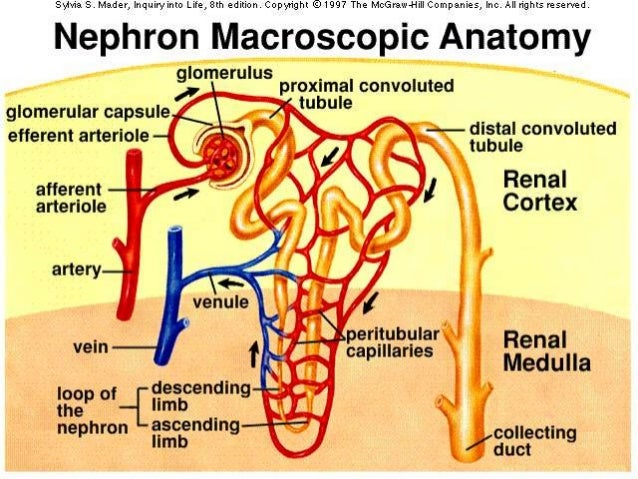 Fisiología glomerular