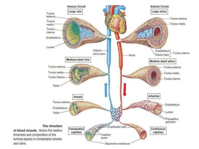 fisiología de la microcirculacion y el sistema linfatico