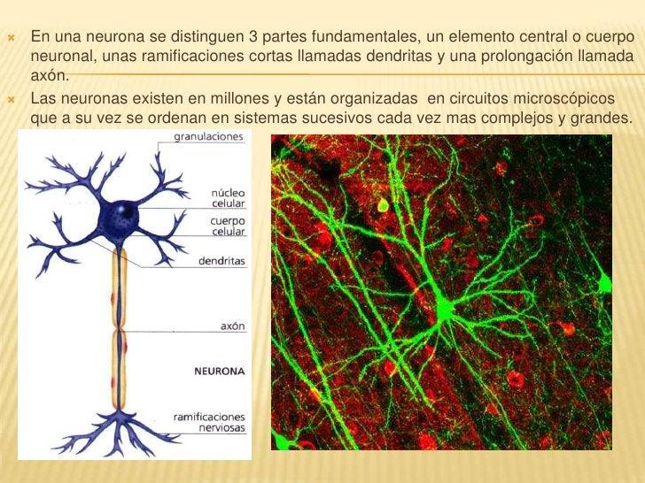 En una neurona se distinguen 3 partes fundamentales, un elemento central o cuerpo neuronal, unas ramificaciones cortas lla...