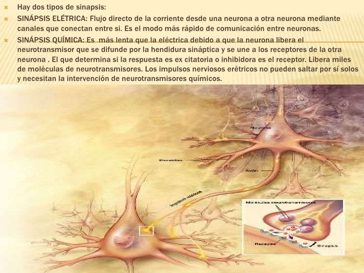 Hay dos tipos de sinapsis:<br />SINÁPSIS ELÉTRICA: Flujo directo de la corriente desde una neurona a otra neurona mediante...