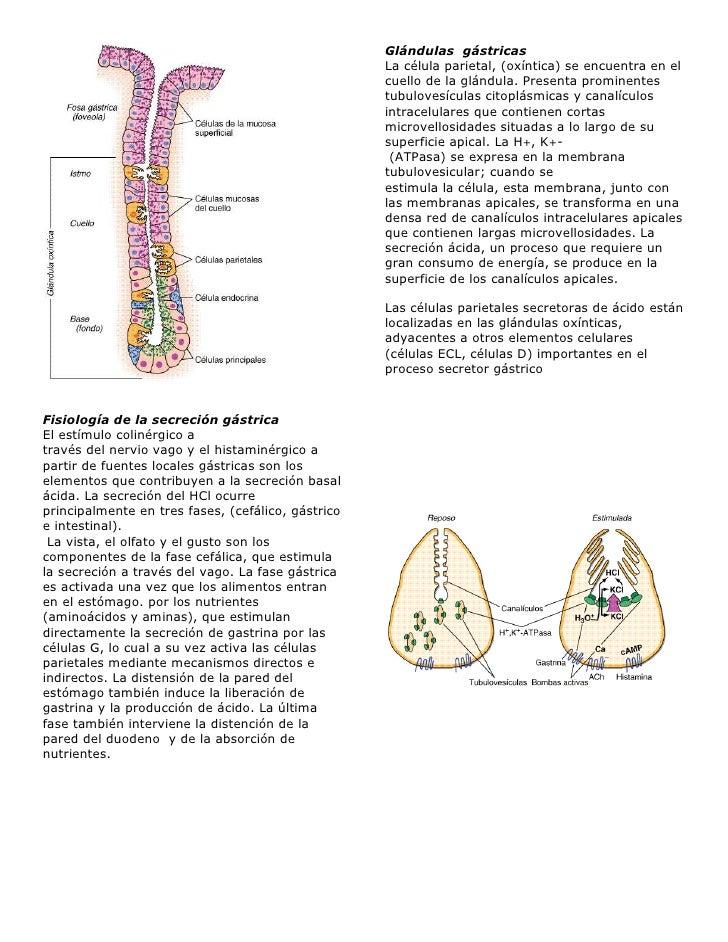 Fisiología de la secreción gástrica <br />El estímulo colinérgico a<br />través del nervio vago y el histaminérgico a part...