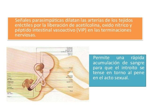 Glandulas de                                                Skene• señales parasimpáticas se        • producen y se llenan...