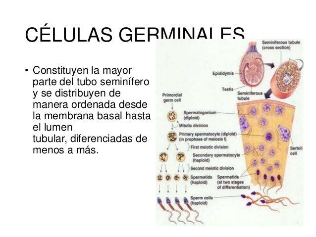 Fisiología Aparato Reproductor Masculino
