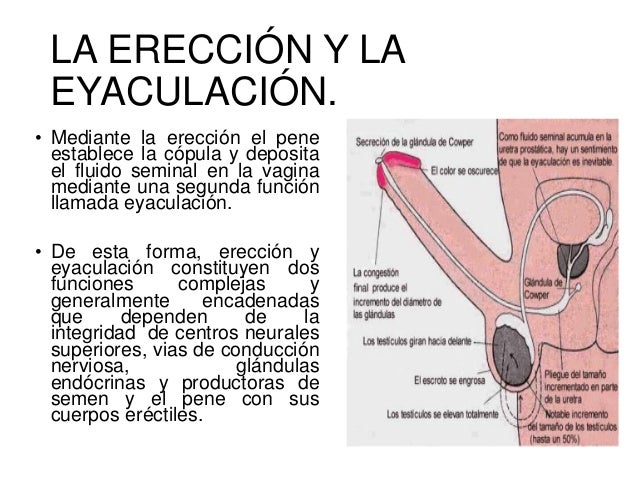 tipos de ereccion