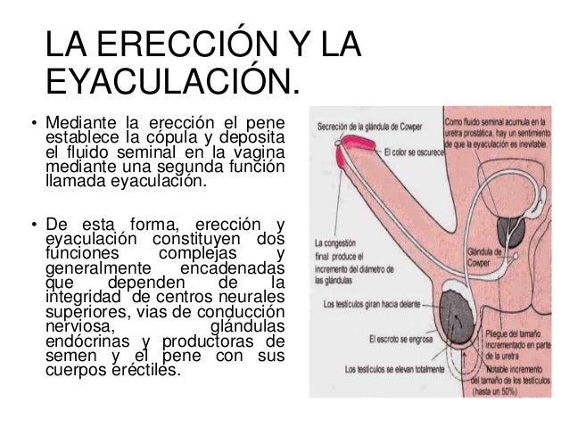 Fisiología aparato reproductor masculino.