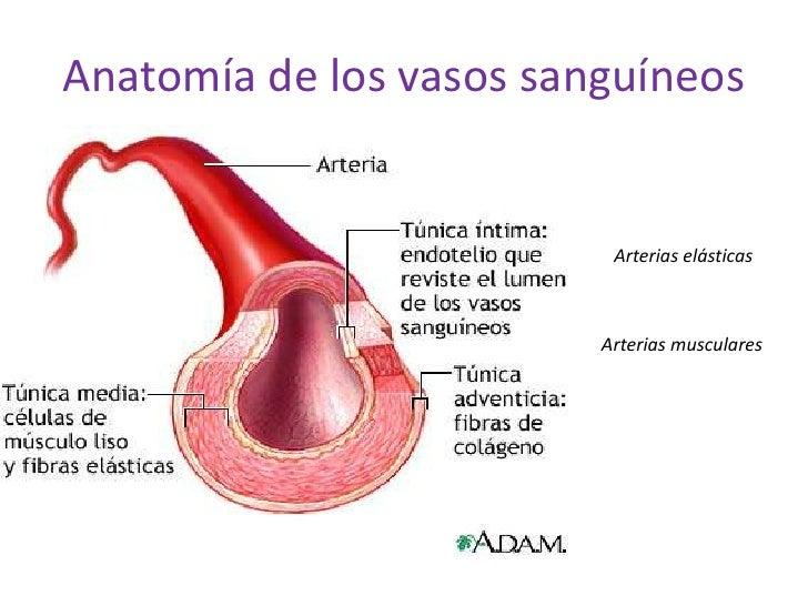 FisiologíA Vascular