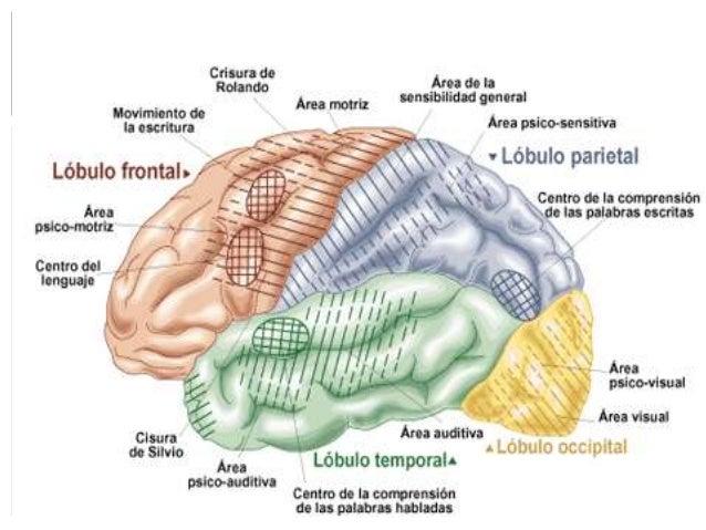 Fisiologia corteza motora