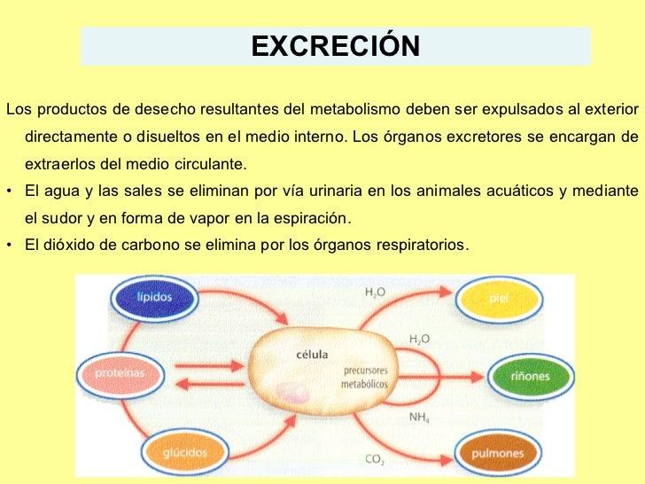 EXCRECIÓN <ul><li>Los productos de desecho resultantes del metabolismo deben ser expulsados al exterior directamente o dis...