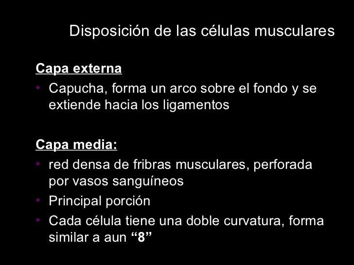 Disposición de las células musculares <ul><li>Capa externa </li></ul><ul><li>Capucha, forma un arco sobre el fondo y se ex...