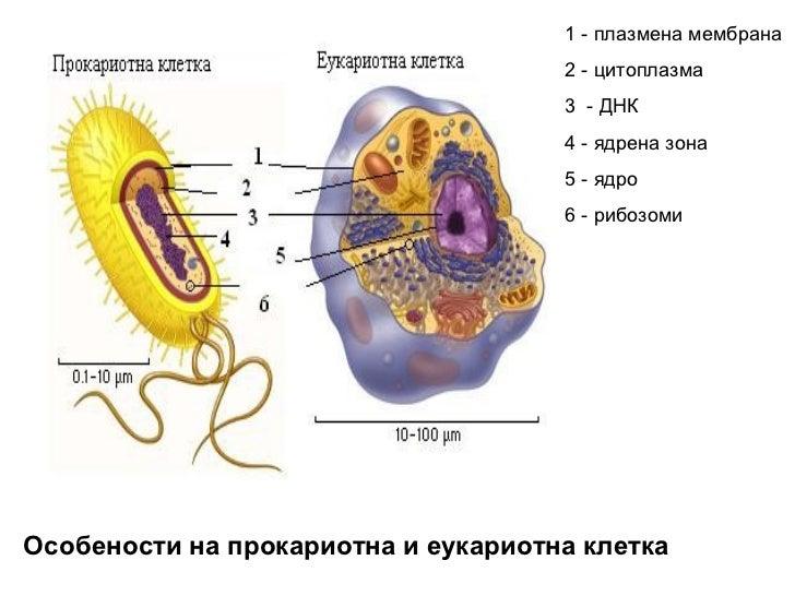 1 - плазмена мембрана                                     2 - цитоплазма                                     3 - ДНК      ...
