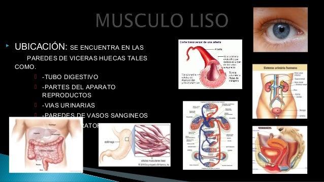 FISIOLOGÍA - MUSCULO LISO