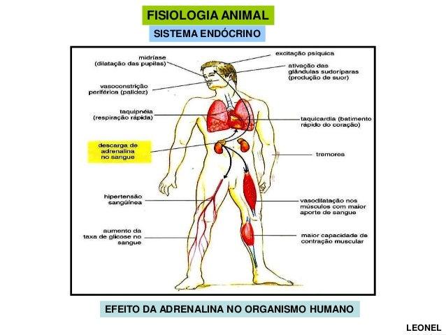 FISIOLOGIA ANIMAL SISTEMA ENDÓCRINO  EFEITO DA ADRENALINA NO ORGANISMO HUMANO LEONEL