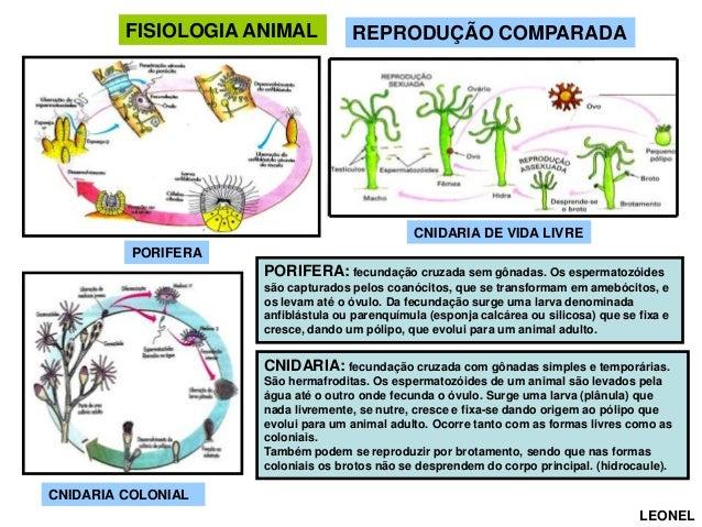 FISIOLOGIA ANIMAL  REPRODUÇÃO COMPARADA  CNIDARIA DE VIDA LIVRE PORIFERA  PORIFERA: fecundação cruzada sem gônadas. Os esp...