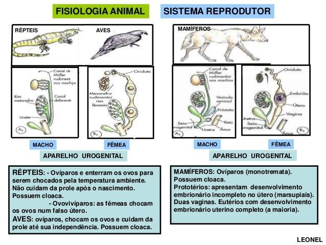 FISIOLOGIA ANIMAL AVES  RÉPTEIS  MACHO  FÊMEA  APARELHO UROGENITAL  RÉPTEIS: - Ovíparos e enterram os ovos para serem choc...