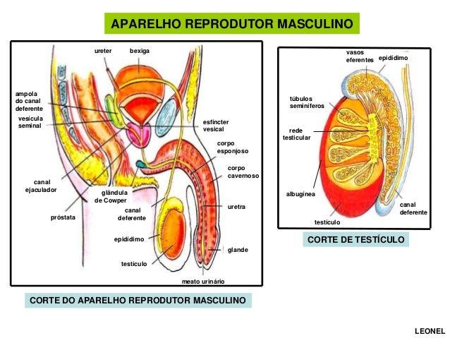 APARELHO REPRODUTOR MASCULINO ureter  bexiga  vasos eferentes epidídimo  ampola do canal deferente  túbulos seminíferos  v...
