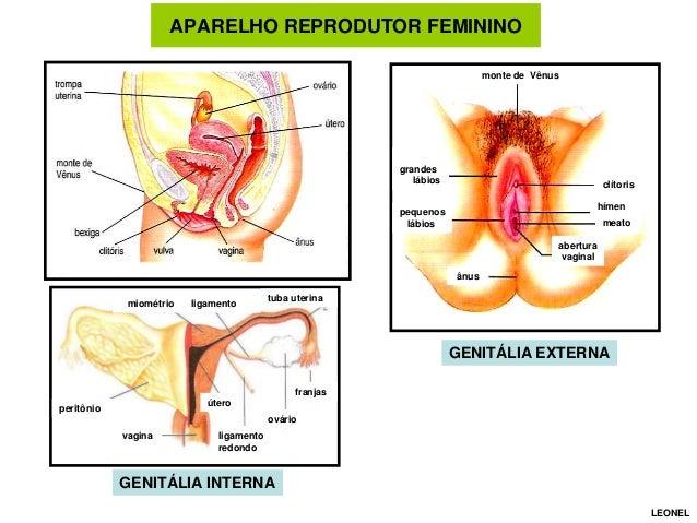 APARELHO REPRODUTOR FEMININO monte de Vênus  grandes lábios  clítoris hímen  pequenos lábios  meato abertura vaginal ânus ...