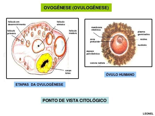 OVOGÊNESE (OVULOGÊNESE)  folículo em desenvolvimento  folículo atrésico folículo maduro  folículo primário  membrana vitel...