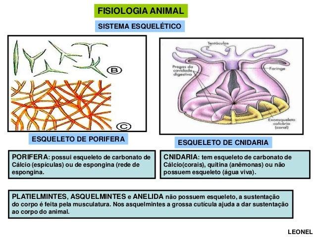 FISIOLOGIA ANIMAL SISTEMA ESQUELÉTICO  ESQUELETO DE PORIFERA  ESQUELETO DE CNIDARIA  PORIFERA: possui esqueleto de carbona...
