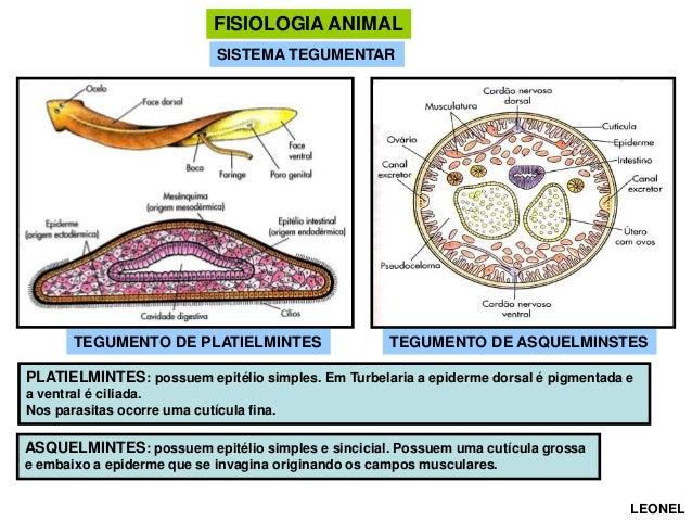 FISIOLOGIA ANIMAL SISTEMA TEGUMENTAR  TEGUMENTO DE PLATIELMINTES  TEGUMENTO DE ASQUELMINSTES  PLATIELMINTES: possuem epité...