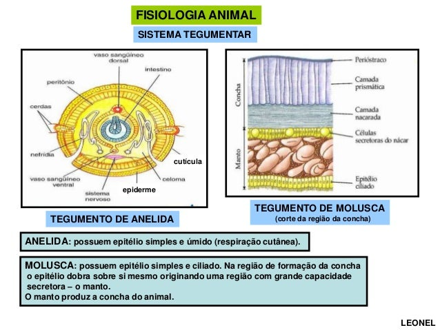 FISIOLOGIA ANIMAL SISTEMA TEGUMENTAR  cutícula  epiderme  TEGUMENTO DE MOLUSCA TEGUMENTO DE ANELIDA  (corte da região da c...