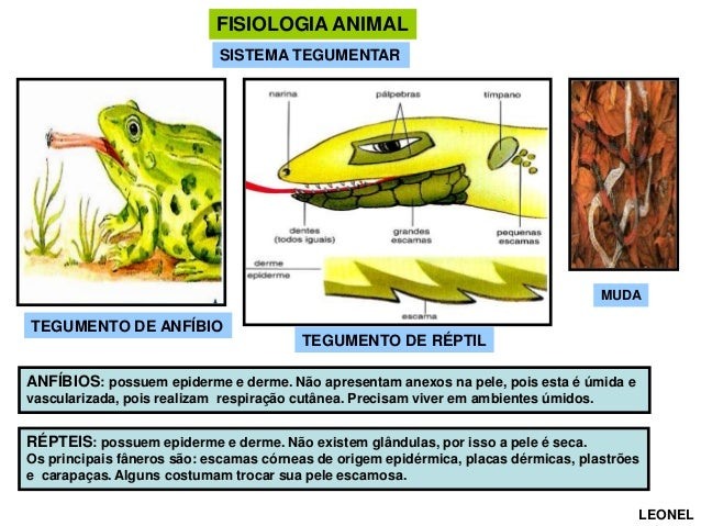 FISIOLOGIA ANIMAL SISTEMA TEGUMENTAR  MUDA  TEGUMENTO DE ANFÍBIO  TEGUMENTO DE RÉPTIL  ANFÍBIOS: possuem epiderme e derme....