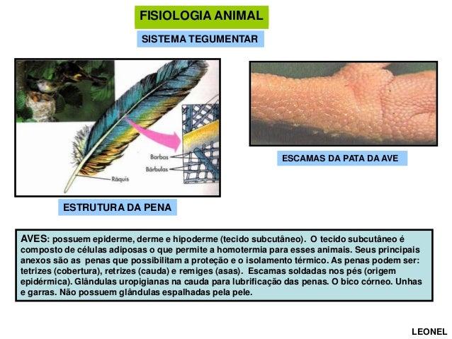 FISIOLOGIA ANIMAL FISIOLOGIA ANIMAL SISTEMA TEGUMENTAR  ESCAMAS DA PATA DA AVE  ESTRUTURA DA PENA AVES: possuem epiderme, ...