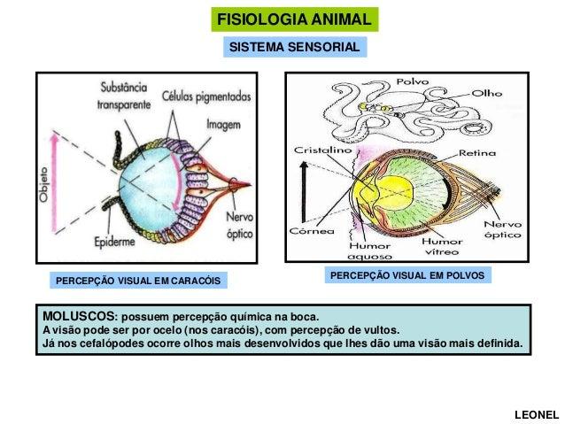 FISIOLOGIA ANIMAL SISTEMA SENSORIAL  PERCEPÇÃO VISUAL EM CARACÓIS  PERCEPÇÃO VISUAL EM POLVOS  MOLUSCOS: possuem percepção...