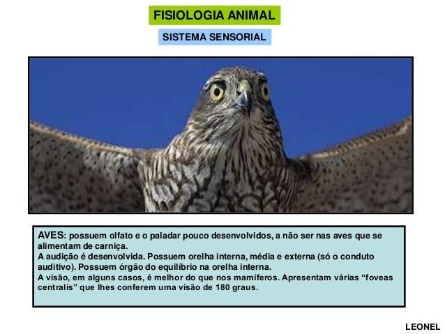 FISIOLOGIA ANIMAL SISTEMA SENSORIAL  AVES: possuem olfato e o paladar pouco desenvolvidos, a não ser nas aves que se alime...