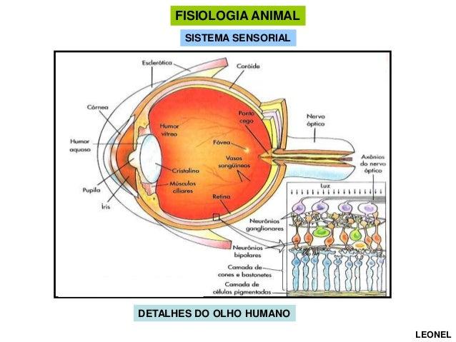 FISIOLOGIA ANIMAL SISTEMA SENSORIAL  DETALHES DO OLHO HUMANO LEONEL