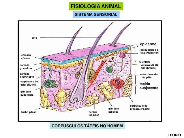 FISIOLOGIA ANIMAL SISTEMA SENSORIAL  pêlo  epiderme corpúsculo do tato (Meissner)  camada córnea  derme camada granulosa  ...