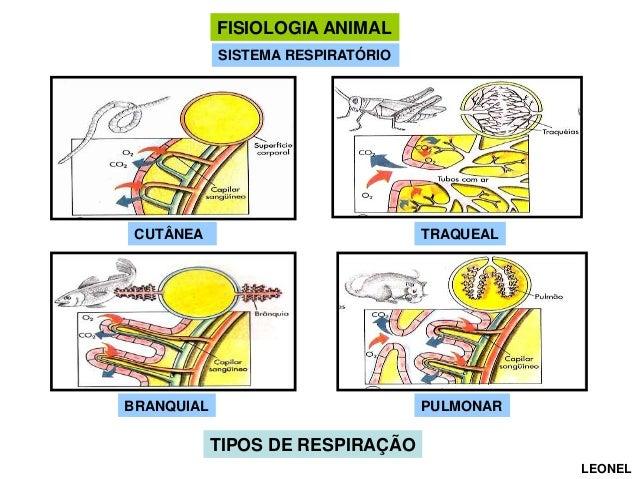 FISIOLOGIA ANIMAL SISTEMA RESPIRATÓRIO  CUTÂNEA  TRAQUEAL  BRANQUIAL  PULMONAR  TIPOS DE RESPIRAÇÃO LEONEL