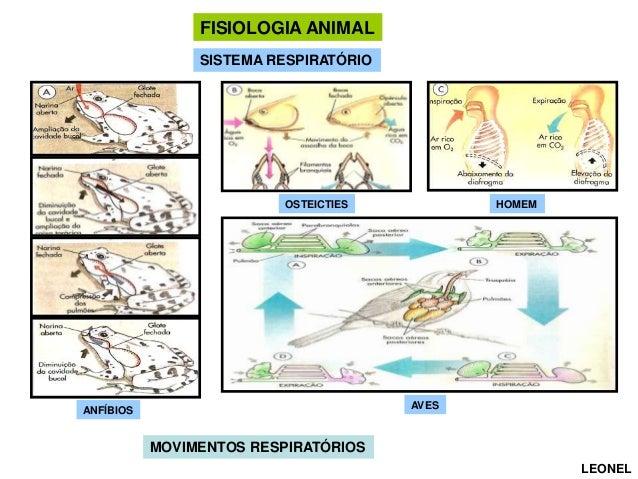 FISIOLOGIA ANIMAL SISTEMA RESPIRATÓRIO  OSTEICTIES  HOMEM  AVES  ANFÍBIOS  MOVIMENTOS RESPIRATÓRIOS LEONEL