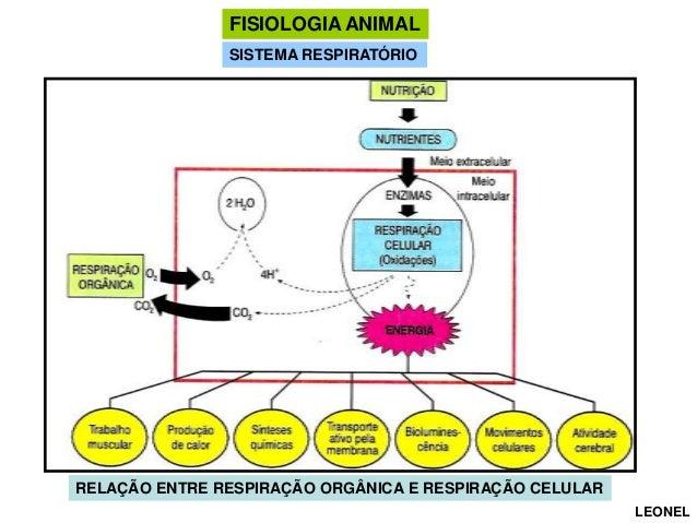 FISIOLOGIA ANIMAL SISTEMA RESPIRATÓRIO  RELAÇÃO ENTRE RESPIRAÇÃO ORGÂNICA E RESPIRAÇÃO CELULAR LEONEL