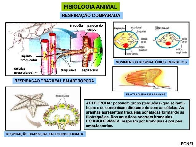FISIOLOGIA ANIMAL RESPIRAÇÃO COMPARADA traquéia  parede do corpo  líquido traqueolar células musculares  MOVIMENTOS RESPIR...