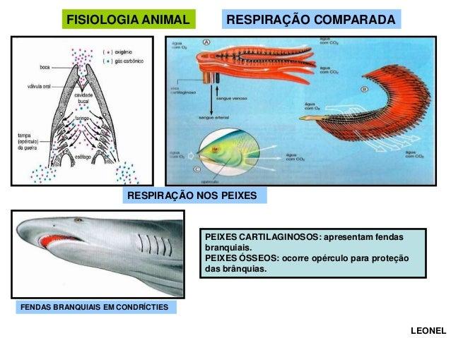 FISIOLOGIA ANIMAL  RESPIRAÇÃO COMPARADA  RESPIRAÇÃO NOS PEIXES  PEIXES CARTILAGINOSOS: apresentam fendas branquiais. PEIXE...