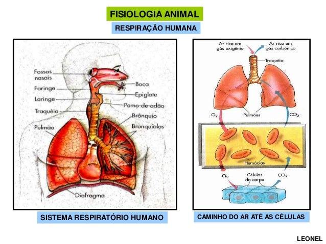 FISIOLOGIA ANIMAL RESPIRAÇÃO HUMANA  SISTEMA RESPIRATÓRIO HUMANO  CAMINHO DO AR ATÉ AS CÉLULAS LEONEL