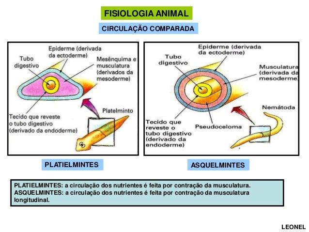 FISIOLOGIA ANIMAL CIRCULAÇÃO COMPARADA  PLATIELMINTES  ASQUELMINTES  PLATIELMINTES: a circulação dos nutrientes é feita po...