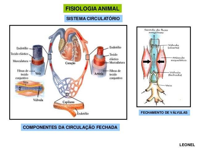 FISIOLOGIA ANIMAL SISTEMA CIRCULATÓRIO CIRCULAÇÃO  FECHAMENTO DE VÁLVULAS  COMPONENTES DA CIRCULAÇÃO FECHADA  LEONEL