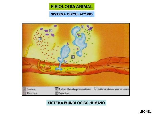 FISIOLOGIA ANIMAL SISTEMA CIRCULATÓRIO CIRCULAÇÃO  SISTEMA IMUNOLÓGICO HUMANO LEONEL