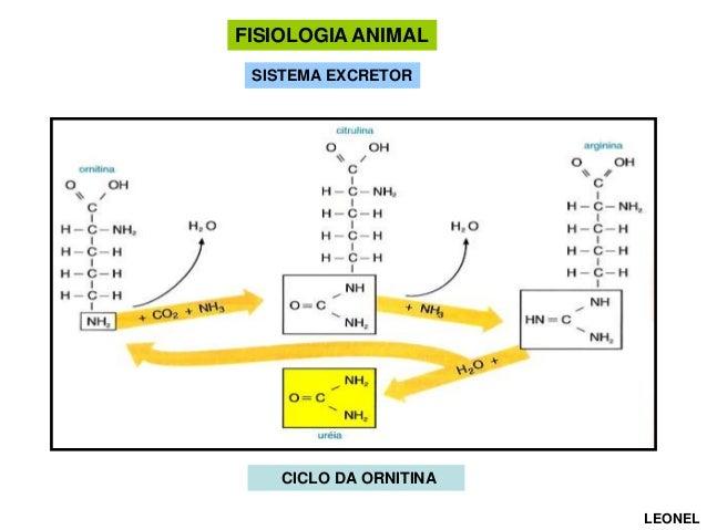 FISIOLOGIA ANIMAL SISTEMA EXCRETOR  CICLO DA ORNITINA LEONEL