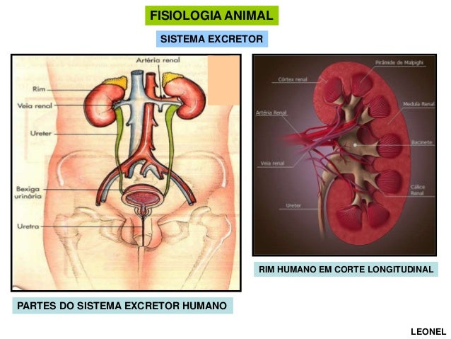 FISIOLOGIA ANIMAL SISTEMA EXCRETOR  RIM HUMANO EM CORTE LONGITUDINAL  PARTES DO SISTEMA EXCRETOR HUMANO LEONEL