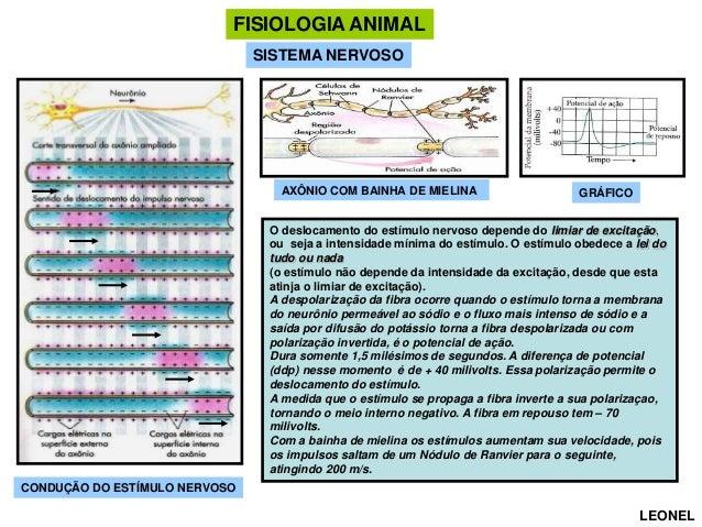 FISIOLOGIA ANIMAL SISTEMA NERVOSO  AXÔNIO COM BAINHA DE MIELINA  GRÁFICO  O deslocamento do estímulo nervoso depende do li...